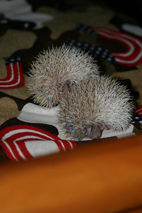 Litter - Capsaicin and Macintosh (02/17/2005)  Litter - Capsaicin and Macintosh (02/17/2005)  Filename reference: 20050307-000423-HAH-Hedgehog_Babies