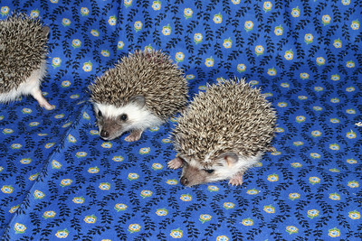 Litter - Roy and Chloris (03/17/2005)  Litter - Roy and Chloris (03/17/2005)  Filename reference: 20050426-225109-HAH-Hedgehog_Babies