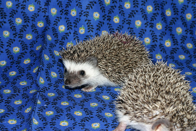 Litter - Roy and Chloris (03/17/2005)  Litter - Roy and Chloris (03/17/2005)  Filename reference: 20050426-224952-HAH-Hedgehog_Babies