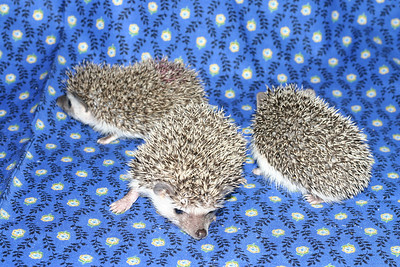 Litter - Roy and Chloris (03/17/2005)  Litter - Roy and Chloris (03/17/2005)  Filename reference: 20050426-224943-HAH-Hedgehog_Babies