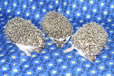 Litter - Roy and Chloris (03/17/2005)  Litter - Roy and Chloris (03/17/2005)  Filename reference: 20050426-225007-HAH-Hedgehog_Babies