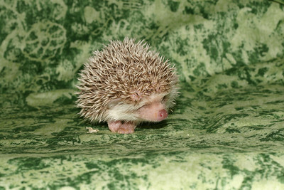 Litter - Capsaicin and Macintosh (04/21/2005)  Boy 1  Filename reference: 20050524-214710-HAH-Hedgehog_Babies