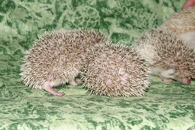 Litter - Capsaicin and Macintosh (04/21/2005)  Litter - Capsaicin and Macintosh (04/21/2005)  Filename reference: 20050524-214447-HAH-Hedgehog_Babies