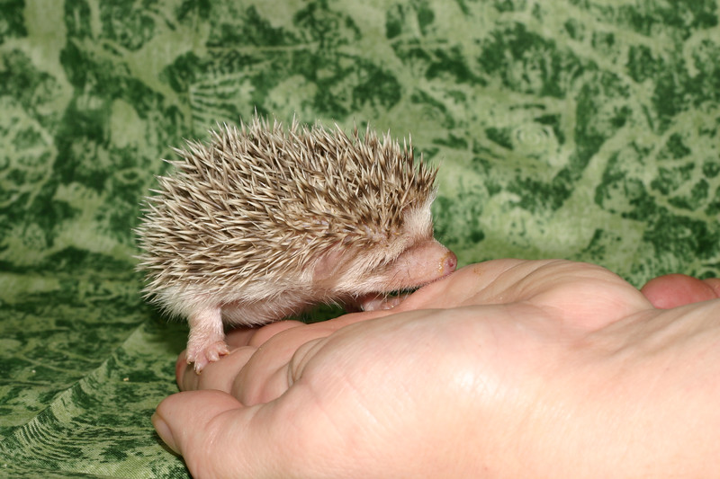 Litter - Capsaicin and Macintosh (04/21/2005)  Girl  Filename reference: 20050524-214635-HAH-Hedgehog_Babies