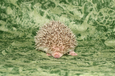 Litter - Capsaicin and Macintosh (04/21/2005)  Girl  Filename reference: 20050524-214546-HAH-Hedgehog_Babies