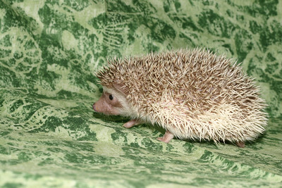 Litter - Capsaicin and Macintosh (04/21/2005)  Boy 2  Filename reference: 20050524-214802-HAH-Hedgehog_Babies