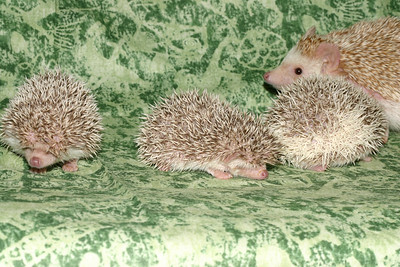 Litter - Capsaicin and Macintosh (04/21/2005)  Litter - Capsaicin and Macintosh (04/21/2005)  Filename reference: 20050524-214507-HAH-Hedgehog_Babies