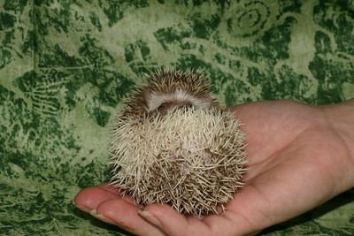 Litter - Capsaicin and Macintosh (04/21/2005)  Boy 2  Filename reference: 20050524-214751-HAH-Hedgehog_Babies