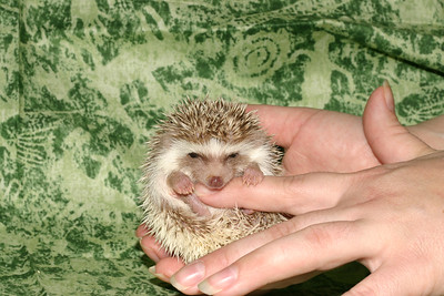 Litter - Capsaicin and Macintosh (04/21/2005)  Boy 2  Filename reference: 20050524-214820-HAH-Hedgehog_Babies