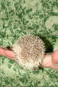 Litter - Capsaicin and Macintosh (04/21/2005)  Boy 2  Filename reference: 20050524-214811-HAH-Hedgehog_Babies