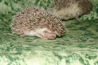 Litter - Capsaicin and Macintosh (04/21/2005)  Litter - Capsaicin and Macintosh (04/21/2005)  Filename reference: 20050524-214519-HAH-Hedgehog_Babies
