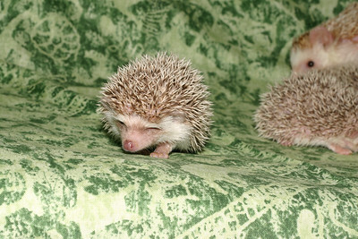 Litter - Capsaicin and Macintosh (04/21/2005)  Litter - Capsaicin and Macintosh (04/21/2005)  Filename reference: 20050524-214513-HAH-Hedgehog_Babies