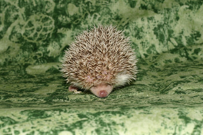 Litter - Capsaicin and Macintosh (04/21/2005)  Boy 1  Filename reference: 20050524-214708-HAH-Hedgehog_Babies