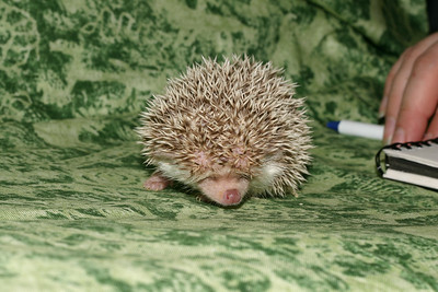 Litter - Capsaicin and Macintosh (04/21/2005)  Boy 1  Filename reference: 20050524-214657-HAH-Hedgehog_Babies