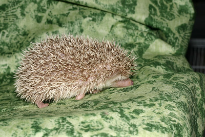 Litter - Capsaicin and Macintosh (04/21/2005)  Boy 1  Filename reference: 20050524-214714-HAH-Hedgehog_Babies