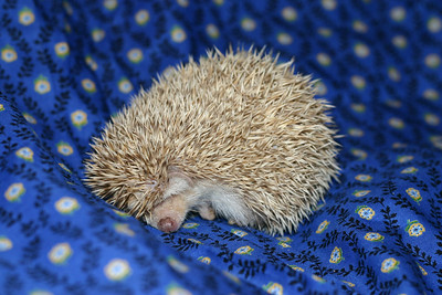 Litter - Macro and ElanaPog (05/03/2005)  ElanaPog Boy  Filename reference: 20050703-143713-HAH-Hedgehog_Babies