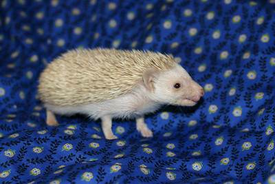 Litter - Macro and ElanaPog (05/03/2005)  ElanaPog Girl  Filename reference: 20050703-143607-HAH-Hedgehog_Babies