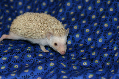 Litter - Macro and ElanaPog (05/03/2005)  ElanaPog Girl  Filename reference: 20050703-143605-HAH-Hedgehog_Babies