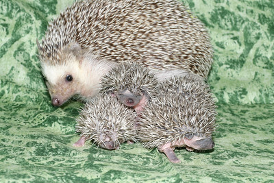 Litter - Roy and Pascal (05/06/2005)  Pascal Babies  Filename reference: 20050524-214907-HAH-Hedgehog_Babies