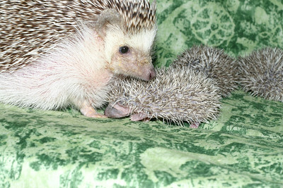 Litter - Roy and Pascal (05/06/2005)  Pascal Babies  Filename reference: 20050524-214952-HAH-Hedgehog_Babies