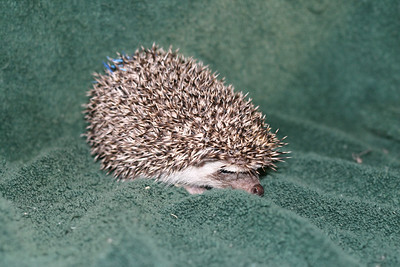 Litter - Roy and Pascal (05/06/2005)  Pascal Boy  Filename reference: 20050630-225406-HAH-Hedgehog_Babies-2
