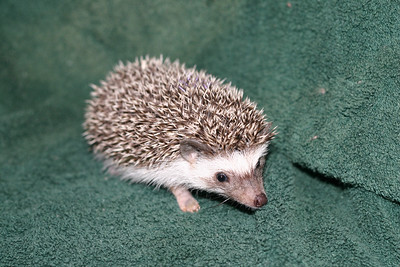 Litter - Roy and Pascal (05/06/2005)  Pascal Girl  Filename reference: 20050630-225056-HAH-Hedgehog_Babies-2