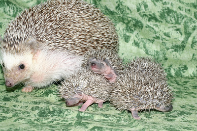 Litter - Roy and Pascal (05/06/2005)  Pascal Babies  Filename reference: 20050524-214911-HAH-Hedgehog_Babies