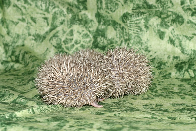 Litter - Roy and Pascal (05/06/2005)  Pascal Babies  Filename reference: 20050524-214920-HAH-Hedgehog_Babies