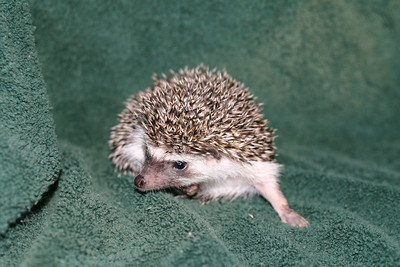 Litter - Roy and Pascal (05/06/2005)  Pascal Boy  Filename reference: 20050630-225350-HAH-Hedgehog_Babies-2