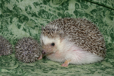 Litter - Roy and Pascal (05/06/2005)  Pascal Babies  Filename reference: 20050524-215013-HAH-Hedgehog_Babies