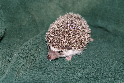 Litter - Roy and Pascal (05/06/2005)  Pascal Girl  Filename reference: 20050630-225046-HAH-Hedgehog_Babies-2