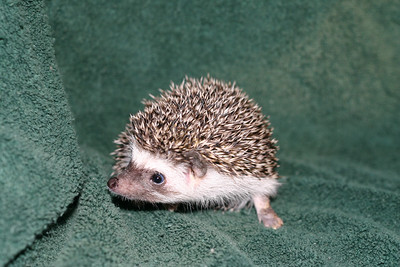 Litter - Roy and Pascal (05/06/2005)  Pascal Boy  Filename reference: 20050630-225351-HAH-Hedgehog_Babies-2