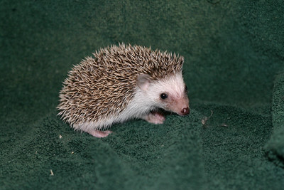 Litter - Tumbleweed and Port (05/25/2005)  Port Boy  Filename reference: 20050630-225844-HAH-Hedgehog_Babies-2