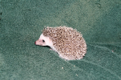 Litter - Tumbleweed and Port (05/25/2005)  Port Boy  Filename reference: 20050630-225838-HAH-Hedgehog_Babies-2