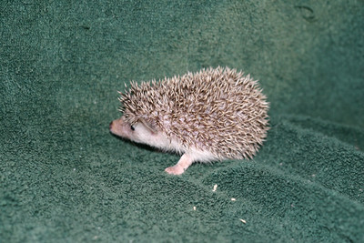 Litter - Tumbleweed and Port (05/25/2005)  Port Girl 1  Filename reference: 20050630-225520-HAH-Hedgehog_Babies-2