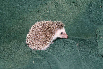 Litter - Tumbleweed and Port (05/25/2005)  Port Boy  Filename reference: 20050630-225842-HAH-Hedgehog_Babies-2