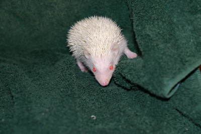 Litter - Tumbleweed and Port (05/25/2005)  Port Girl 2  Filename reference: 20050630-225644-HAH-Hedgehog_Babies-2