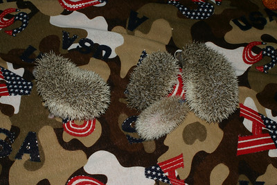 Hedgehog Babies (03/07/2005)  Pinto Babies  Filename reference: 20050307-001610-HAH-Hedgehog_Babies-SM