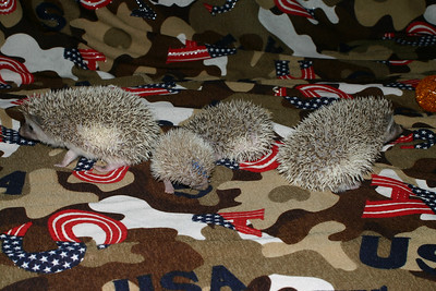 Hedgehog Babies (03/07/2005)  Pinto Babies  Filename reference: 20050307-001539-HAH-Hedgehog_Babies-SM