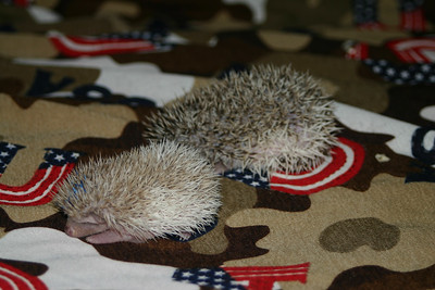 Hedgehog Babies (03/07/2005)  Pinto Babies  Filename reference: 20050307-001502-HAH-Hedgehog_Babies-SM
