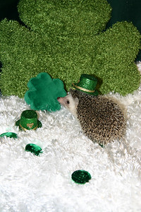 Hedgehog Babies (03/01/2006)  Blackberry 2 Boy  Filename reference: 20060301-212052-HAH-Hedgehog_Babies