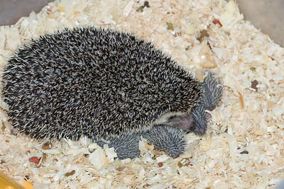 Hedgehog Babies (06/07/2007)  Hedgehog Babies (06/07/2007)  Filename reference: 20070607-221114-HAH-Hedgehog_Babies