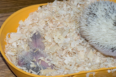 Hedgehog Babies (06/07/2007)  Hedgehog Babies (06/07/2007)  Filename reference: 20070607-220926-HAH-Hedgehog_Babies