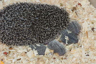 Hedgehog Babies (06/07/2007)  Hedgehog Babies (06/07/2007)  Filename reference: 20070607-221120-HAH-Hedgehog_Babies