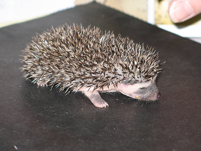 Hedgehog Babies (06/21/2007)  Hedgehog Babies  Filename reference: 20070621-014201-HAH-Hedgehog_Babies