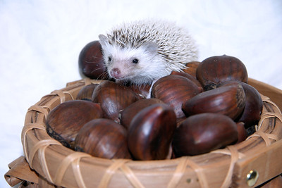 Hedgehog Chestnuts (01/04/2007)  Hedgehog Chestnuts (01/04/2007) - Photoshoot for Mighty Giants - An American Chestnut Anthology  Filename reference: 20070104-220155-HAH-Hedgehog_Chestnuts