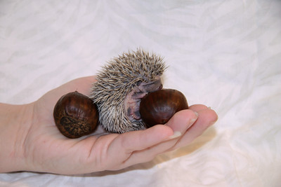 Hedgehog Chestnuts (01/04/2007)  Hedgehog Chestnuts (01/04/2007) - Photoshoot for Mighty Giants - An American Chestnut Anthology  Filename reference: 20070104-215626-HAH-Hedgehog_Chestnuts