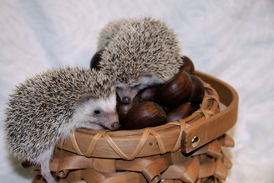 Hedgehog Chestnuts (01/04/2007)  Hedgehog Chestnuts (01/04/2007) - Photoshoot for Mighty Giants - An American Chestnut Anthology  Filename reference: 20070104-220131-HAH-Hedgehog_Chestnuts