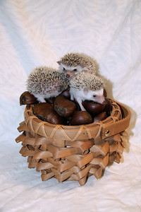 Hedgehog Chestnuts (01/04/2007)  Hedgehog Chestnuts (01/04/2007) - Photoshoot for Mighty Giants - An American Chestnut Anthology  Filename reference: 20070104-220005-HAH-Hedgehog_Chestnuts