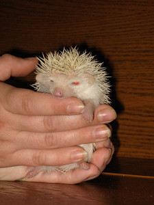 Reserved Babies (06/12/2007)  Hedgehog Babies Reserved for HR (06/12/2007)  Filename reference: 20070612-231535-HAH-Hedgehog_Babies